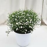 안개꽃 화이트 공기정화식물 