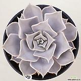 릴리시나39|Echeveria lilacina