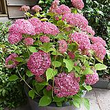 핑크아나벨 목수국|Hydrangea macrophylla