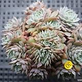 화이트턱시판철화 Echeveria tuxpan