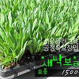 새싹보리(성인병예방 다이어트) 모종 1500원 (단독주문시 5000원이상주문가능)|