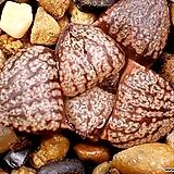 오쿠보핑크픽타(소묘) 95-11|Haworthia picta