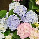 큰꽃겹수국-대품