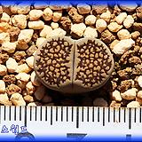 리톱스 Lithops hellii Grey Black S.S. Lithops