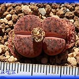리톱스 Lithops C393A bromfieldii Rubroroseus 리톱스 브롬필디 루브로로세우스 Lithops