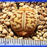 리톱스 Lithops dorotheae EH 도로시 EH Lithops