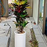 아이스크로톤완성화분|Codiaeum Variegatum Blume Var Hookerianum