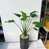 잎이예쁜 하트알로카시아 전체높이 120~130cm|Alocasia