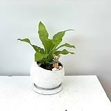 공기정화식물 아비스 원형볼화분|