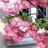 유럽풍 겹벚꽃나무 스탠다드 분달이 특품♥왜성 외목수형♥겹벚나무 겹벚 겹벗 벚꽃 벗꽃 벚나무 벗나무|