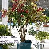 사계절 볼거리를 제공하는 남천 화분상품♥남천나무|