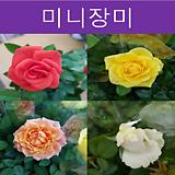 미니장미 10센티포트(분홍)|