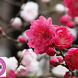 열매열린~홍도화 분달이 상품♥꽃이 예쁜 식물♥봄에 피는 꽃|