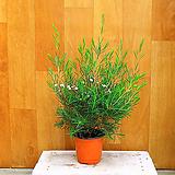 왁스플라워(세일) Echeveria agavoides Wax