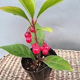 귀요미 천냥금( 소품)  작지만 열매가 맺어 있어요|