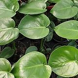 몬스테라 미니.조금 더 크면 잎도 갈라지고 모양동 예뻐지는 상품이고 작은것부터 크게 키워보세요..|