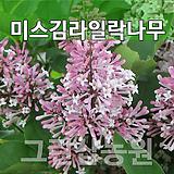 미스김라일락묘목 미스김라일락나무 미스김라일락H0.5 전후|Echeveria cv Peale von Nurnberg