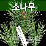소나무묘목 조경수 소나무H1.2|