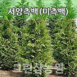 미측백묘목 미측백나무 조경수 미측백H1.2|