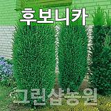 후보니카묘목 후보니카나무 조경수 후보니카 H1.2|