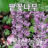 팥꽃나무 팥꽃묘목 꽃나무 판꽃 H0.6 전후|