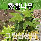 황칠묘목 황칠나무 특용수 황칠나무2년 포트|