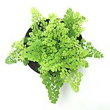 실내공기정화식물 거실화분 미세먼지정화식물 아디안텀 고사리 