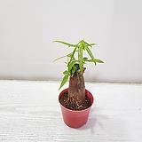 파키라(외대)/공기정화식물/온누리 꽃농원|