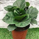 떡갈 고무나무 공기정화식물|Ficus elastica
