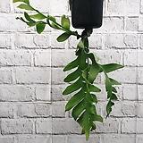 크리소카디움 초록 공중식물|