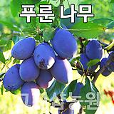 푸룬묘목 푸룬나무 유실수 푸룬 결실주|