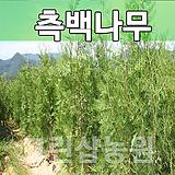 측백묘목 측백나무 조경수 측백 H1.5|