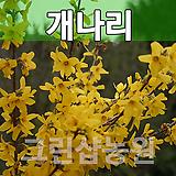 개나리묘목 개나리나무 꽃나무 개나리 H1.0 20주