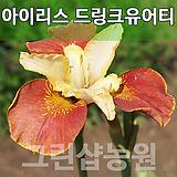 독일붓꽃 드링크유어티묘목 드링크유어티나무 드링크유어티|Echeveria Tina