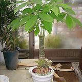바키라나무-초미세먼지와 공기정화에 탁월한파키라|