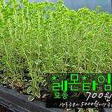 레몬타임(Lemon thyme) 허브모종 700원 (단독주문시 5000원이상주문가능)|Hub