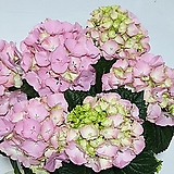 [소량입고]꽃대많은 연핑크 수국|Hydrangea macrophylla