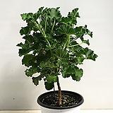 외목대 콜라향제라늄|Geranium/Pelargonium