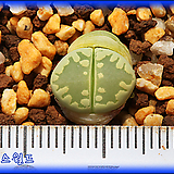 리톱스 Lithops Otzeniana Green form YS 오체니아나 그린폼 YS|Lithops
