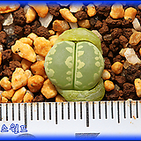 리톱스 Lithops Otzeniana Green form YS 오체니아나 그린폼 YS|Lithops