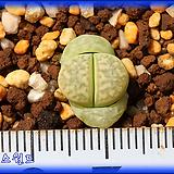 리톱스 Lithops marmorata Polepsky Smaragd 폴렙스키 스마라그드|Lithops