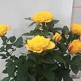노란장미꽃 월동되는아이