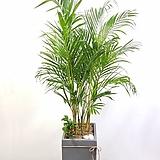 아레카야자 사각시멘트 (대형) 공기정화식물 개업화분배달|