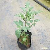 흑토마토모종/흙토마토모종|
