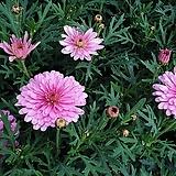 겹목마가렛 핑크|Echeveria halbingeri