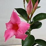 만데빌라.핑크 레드|