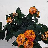 란타나/칠변화. 꽃이 피고 질때까지 7번  변한다고 칠변화라는 네임을 얻었네요/|