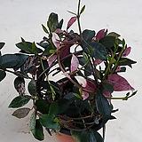 꽃피는 꽃초설 /지금구매 하시면 향기화 꽃을 제대로 즐길수있어요..|