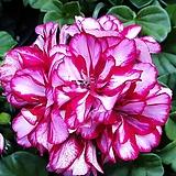 아이비제라늄.잎사귀가 작고 아이비를 닮아서 너무 예뻐요.|Geranium/Pelargonium
