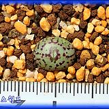 Conophytum obcordellum 옵코델룸|